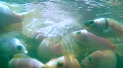 A large school of fish Mozambique tilapia (Oreochromis mossambicus) Stock Footage