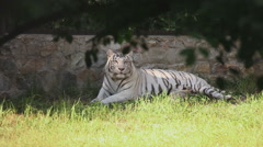White tigress with cub Stock Footage