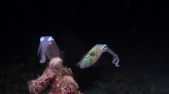 Reef squid swimming at night, Sepioteuthis lessoniana, HD, UP20912 Stock Footage