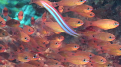 Brassy cardinalfish swimming and schooling, Apogon flavus, HD, UP20928 Stock Footage