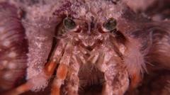 Banded eyestalk hermit crab at night, Dardanus pedunculatus, HD, UP20937 Stock Footage