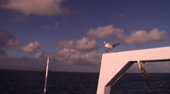 Silver gull, Chroicocephalus novaehollandiae, HD, UP20952 Stock Footage