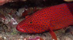 Coral cod waiting to be cleaned, Cephalopholis miniata, HD, UP20958 Stock Footage