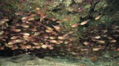 Slender cardinalfish swimming and schooling in cavern, Rhabdamia gracilis, HD, Stock Footage