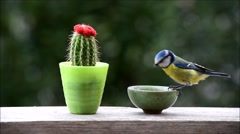 Great tit bird feeding from small bowl Stock Footage