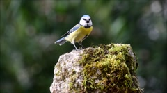 Great tit bird feeding and singing on small rock Stock Footage