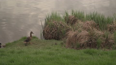 A duck and its babies walking on the riverside in Prague 13 Stock Footage