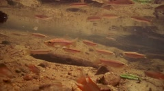School of fish Striped rasbora (Rasbora daniconius) Stock Footage