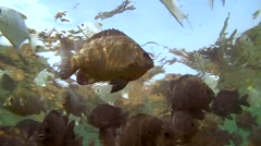 School of fish silver moony (Monodactylus argenteus) Stock Footage