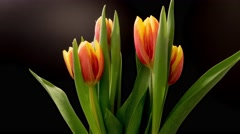 Blooming Tulips On The Black Background, Timelapse Stock Footage