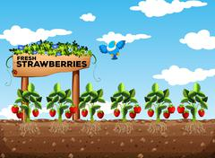 Strawberry field at daytime - stock illustration