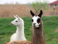 Llama (Lama glama) - stock photo