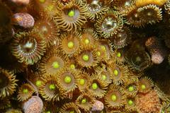 Colony of mat zoanthids Zoanthus pulchellus - stock photo