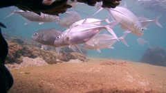 Cleaner fish and school of fish Bigeye trevally (Caranx sexfasciatus) Stock Footage