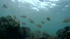 School of fish Convict tang (Acanthurus triostegus) Stock Footage