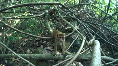 Young, curious toque macaque (Macaca sinica, endemic to Sri Lanka) Stock Footage