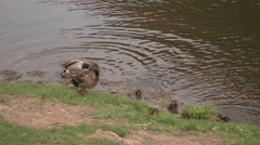 A duck and a few its babies on the riverside in Prague 13 Stock Footage