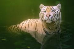 White tiger symbol of  success Stock Photos