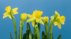Time-Lapse Of Yellow Narcissus Flowers Opening - stock footage
