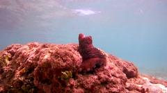 Curious octopus (Octopus cyanea) Stock Footage