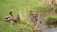 A duck taking care of its baby-ducks on a pond in a social park. - stock footage