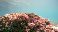 Cyane's octopus (Octopus cyanea) Stock Footage
