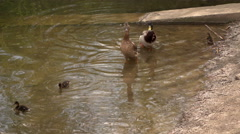 A few ducks with a dozen of their babies swimming in the water in a social park Stock Footage