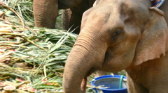 Group of elephant eating fruit in national Thai elephant day Stock Footage