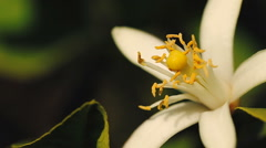 Orange blossom in spring close up. - stock footage