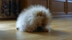 Cute furry Spitz puppy eating bone at home Stock Footage