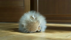Adorable Spitz puppy Stock Footage