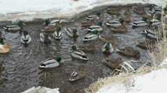 Ducks and drakes swim in a creek a cold winter Stock Footage