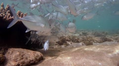school of fish Bigeye trevally (Caranx sexfasciatus) - stock footage