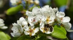 Bee on peach flower Stock Footage