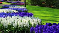 Flowers in the park Keukenhof. Stock Footage