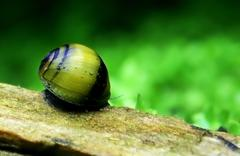 Bumble bee snail - stock photo