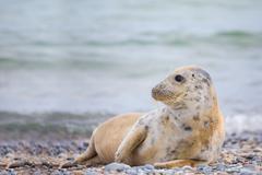 Young baby atlantic Grey Seal Stock Photos