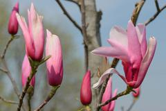 Close-up magnolia flower and many buds are ready to burst. Stock Photos