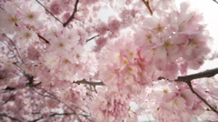 Dreamy closeup of cherry blossoms on a tree, slider shot - stock footage