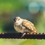 Young Bird Nestling House Sparrow Sitting On Fence Stock Photos