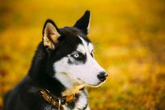 Close Up Young Happy Husky Puppy Eskimo Dog Stock Photos