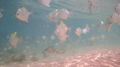A large school of fish silver moony or silver moonfish (Monodactylus argenteus) Stock Footage