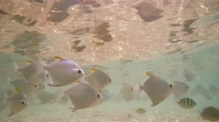 School of fish silver moony or silver moonfish (Monodactylus argenteus) Stock Footage