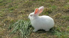 Young white rabbit eating grass - stock footage