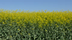 Agriculture, oil seed, canola plant Stock Footage