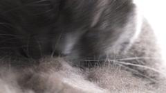 Gray cat claening himself closeup video Stock Footage