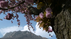 Blossoming Alp tree - stock footage
