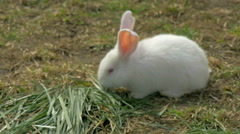 Young white rabbit eating grass and runs - stock footage