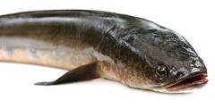 Giant Snakehead known as gozar fish in Bangladesh - stock photo
