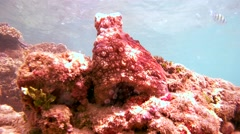 Red octopus sits on a rock, rocking on the course watching trevally, then hides Stock Footage